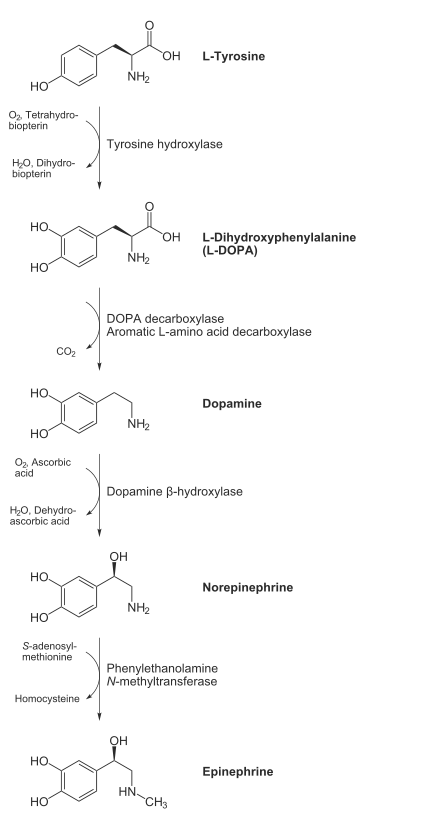 Biosynthesis of catecholamines adrenaline (epinephrine) and noradrenaline (norepinephrine), intermediates DOPA and dopamine